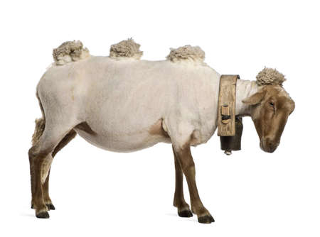 Side view of Mourerou sheep wearing bell in front of white background photo