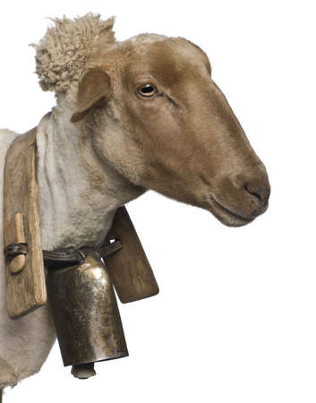 Close-up side view of Mourerou sheep wearing bell in front of white background photo