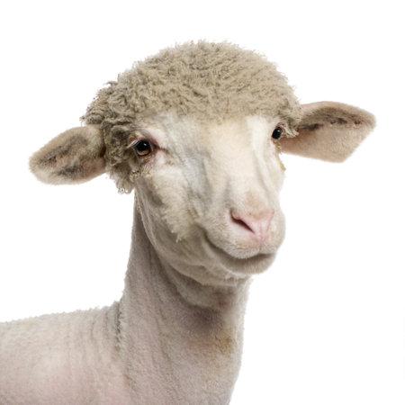 pecora: Ritratto di agnello di Merino parzialmente rasato, 4 mesi di et�, davanti a sfondo bianco  Archivio Fotografico