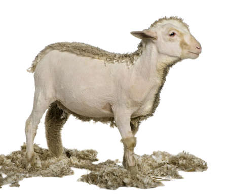 merino: Partially shaved Merino lamb, 4 months old, in front of white background