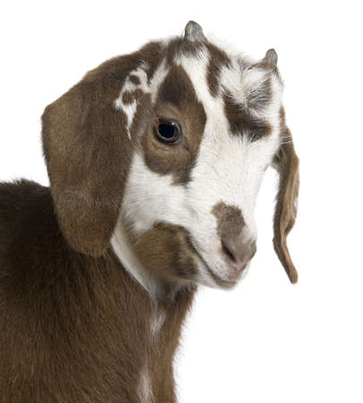 goat head: Close-up headshot Rove goat kid, 3 weeks old, in front of white background