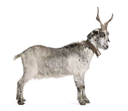 animals horned: Rove goat, 5 years old, standing in front of white background