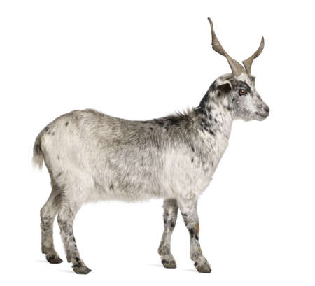 hircus: Rove goat, 5 years old, standing in front of white background