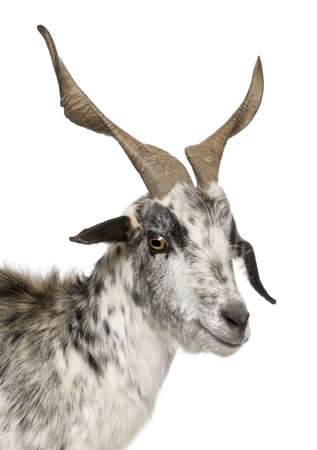 hircus: Close-up headshot of Rove goat, 6 years old, in front of white background