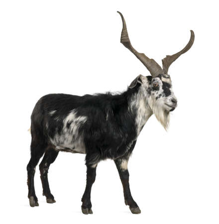 goat horns: Rove goat, 5 years old, standing in front of white background