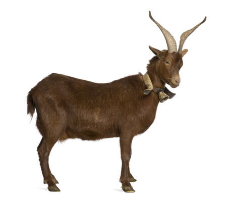 hircus: Rove goat, 4 years old, standing in front of white background