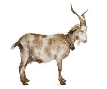 Pie de cabra de Rove femenina delante de fondo blanco