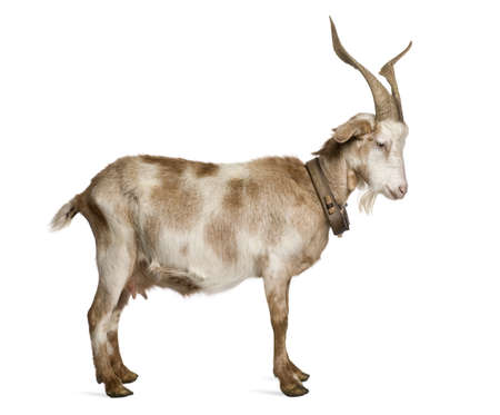 Female Rove goat standing in front of white background Stockfoto