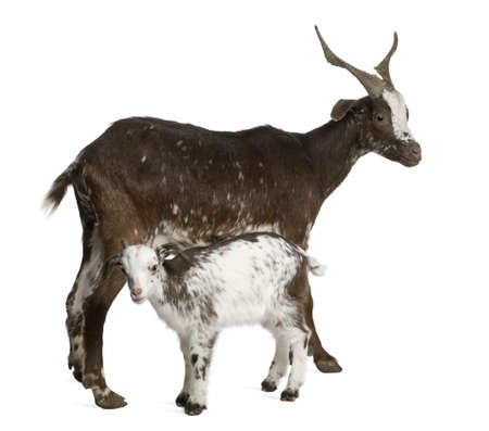 hircus: Female Rove goat with kid standing in front of white background