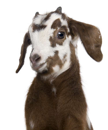 hircus: Close-up headshot Rove goat kid, 3 weeks old, in front of white background