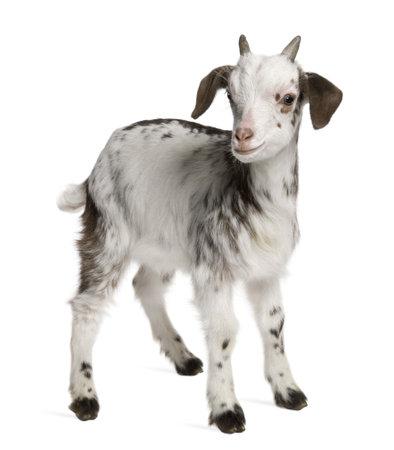 cabra: Desplace la cabra Kid, 1 meses de edad, de pie delante de fondo blanco
