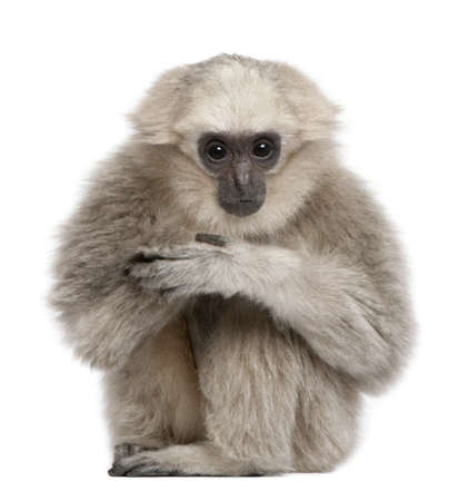 gibbon: Young Pileated Gibbon, 1 year, Hylobates Pileatus, sitting in front of white background