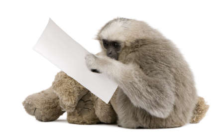 stuffed animal: Young Pileated Gibbon, 1 year , Hylobates Pileatus, sitting with stuffed animal and holding paper in front of white background