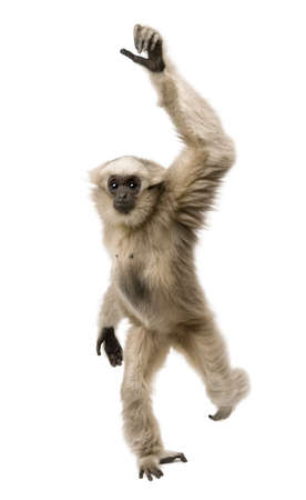 no movement: Young Pileated Gibbon, 1 year old, Hylobates Pileatus, walking in front of white background