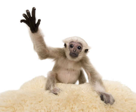 Young Pileated Gibbon, 4 months old, Hylobates Pileatus, on rug with paw up in front of white background photo