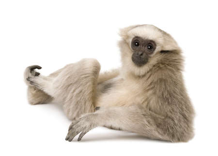 looking over shoulder: Young Pileated Gibbon, 4 months old, sitting looking over shoulder in front of white background