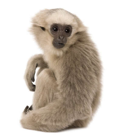 primates: Young Pileated Gibbon, 4 months old, sitting in front of white background Stock Photo