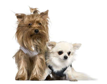 chihuahua 3 months old: Yorkshire Terrier and Chihuahua, 3 years and 18 months old, sitting in front of white background Stock Photo