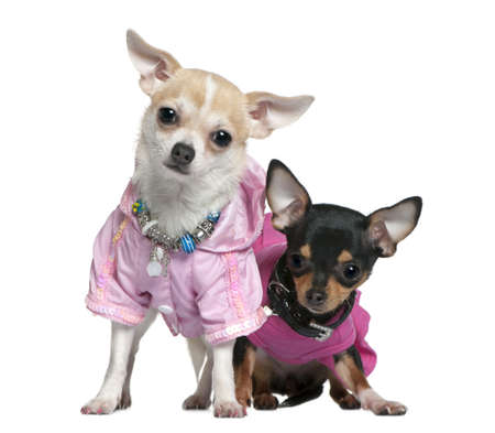 Two dressed Chihuahuas in pink, 8 months old, in front of white background photo