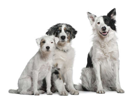 Border collie, 4 years old, Parson Russell Terrier and Australian Shepherd, 4 months old, in front of white background photo