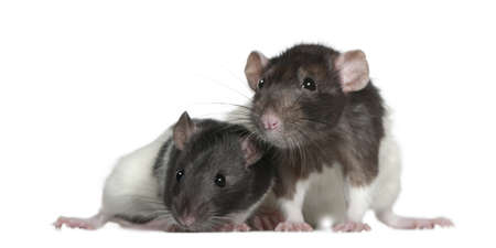 Rats, 9 and 3 months old, in front of white background Stock Photo - 7119633