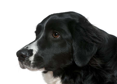 Close-up side view of Border Collie, 2 years old, in front of white background photo