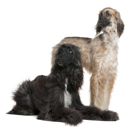 Two Afghan hounds, 1 and 2 years old, in front of white background photo