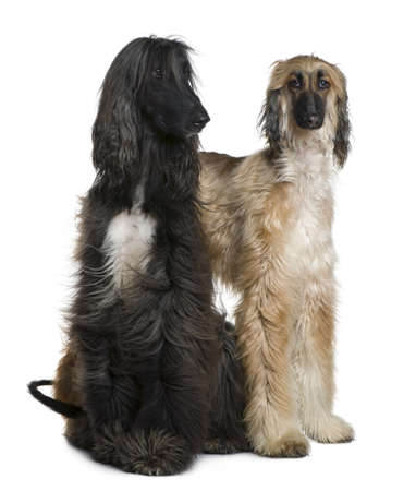 Two Afghan hounds, 1 and 2 years old, in front of white background Stock Photo - 7120858
