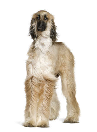 afghan: Afghan hound with his hair in the wind, 1 year old, in front of white background