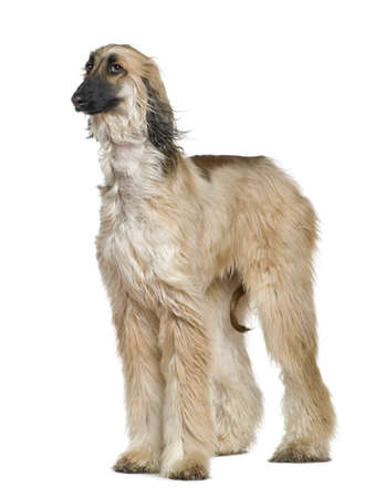 Afghan hound with his hair in the wind, 1 year old, in front of white background photo