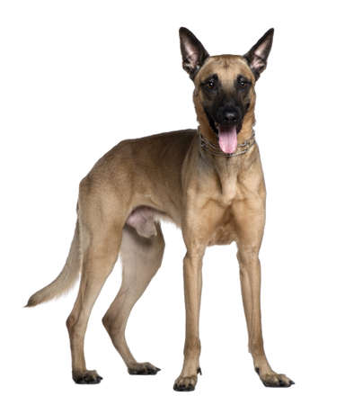 Berger Malinois, 3 years old, standing in front of white background