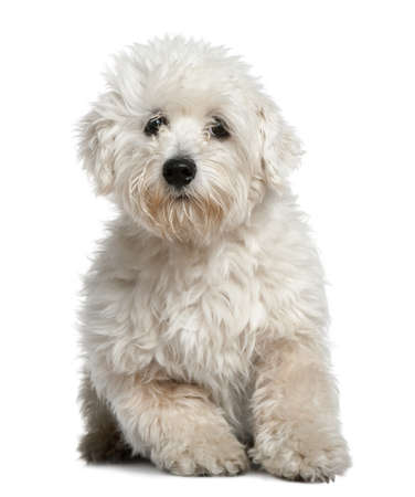 Maltese, 11 months old, sitting in front of white background photo