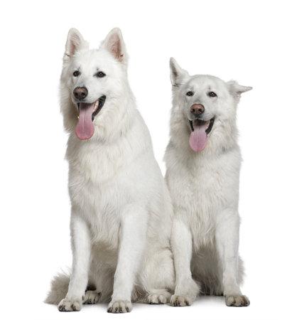 2 to 3 years: Due cani pastore svizzero, 2 e 3 anni, seduto davanti a sfondo bianco  Archivio Fotografico