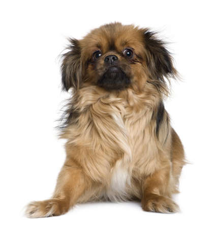 Tibetan spaniel, 4 years old, in front of white background Stock Photo - 7121429