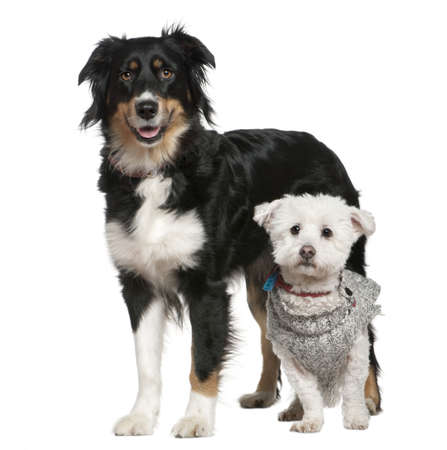 Australian Shepherd dog and Maltese dog, 3 and a half and 11 years old, in front of white background photo