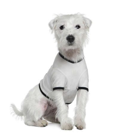 Parson Russell Terrier in white shirt, 1 and a half years old, in front of white background photo