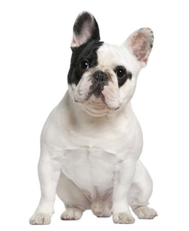 french bulldog: French bulldog, 1 and a half years old, sitting in front of white background