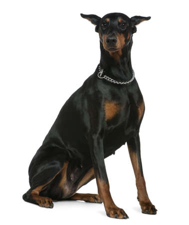 doberman: Doberman Pinscher, 7 years old, sitting in front of white background