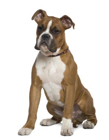 perro boxer: Boxer, 5 meses de edad, sentado delante de fondo blanco