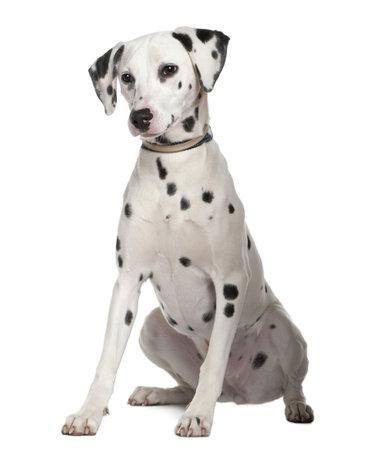 dalmatier: Dalmatische, 8 maanden oud, zitten voor witte achtergrond