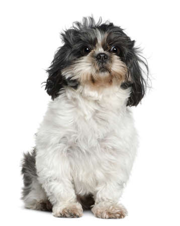 shih: Shih Tzu, 7 years old, sitting in front of white background