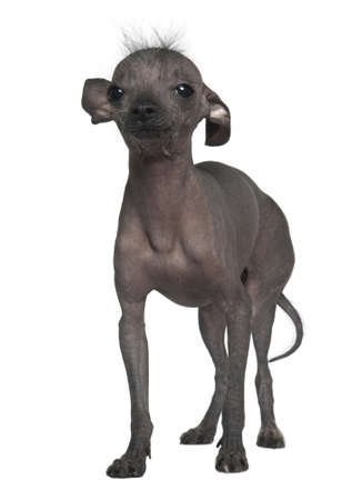 Chinese hairless crested dog, 5 years old, standing in front of white background photo