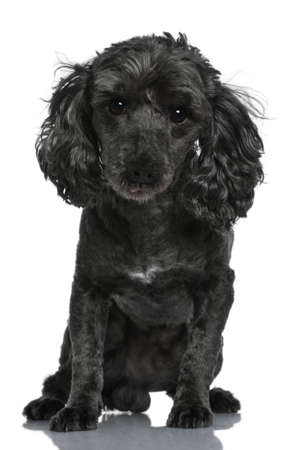 Poodle, 6 years old, sitting in front of white background Stock Photo - 7120243