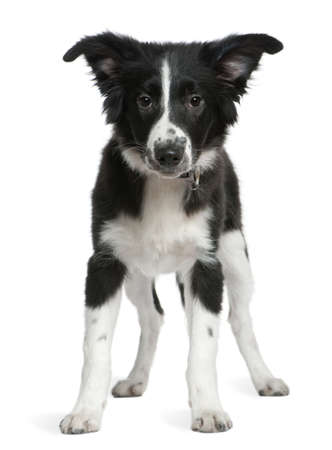 Border Collie puppy, 4 months old, standing in front of white background photo