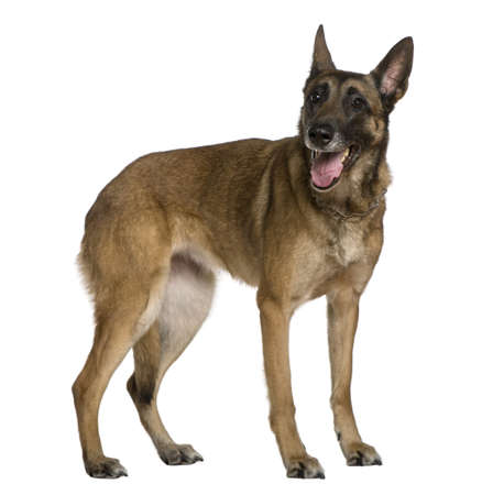 Belgian Shepherd dog, 9 years old, standing in front of white background photo