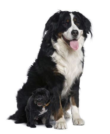 11 years: Mixed-breed dog, 11 years old, with small dog, sitting in front of white background