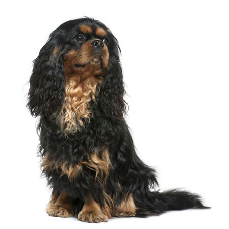 Cavalier king Charles dog, 1 year old, sitting in front of white background photo
