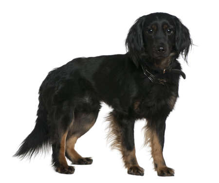 Mixed-breed dog, 3 years old, standing in front of white background photo