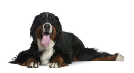 Bernese mountain dog, 2 years old, lying in front of white background photo