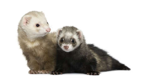 18: Two ferrets, 1 year old and 18 months old, in front of white background